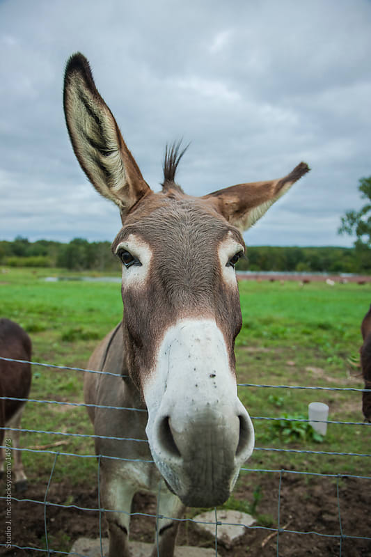 Animal Personalities: Friendly Quirky Donkey Face Twitching Ears by Jani Bryson for Stocksy United