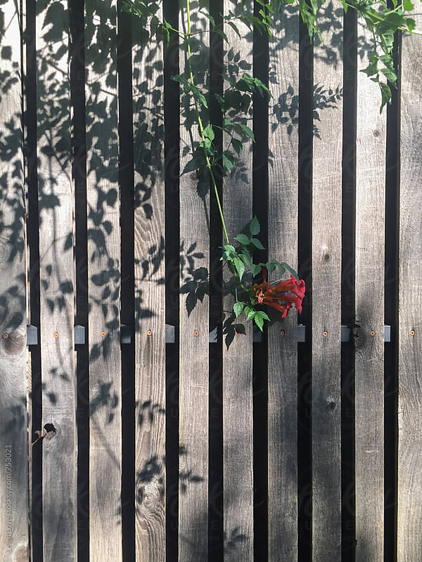 Orange Trumpet Vine Growing On A Slatted Fence with Shadows by Leigh Love for Stocksy United
