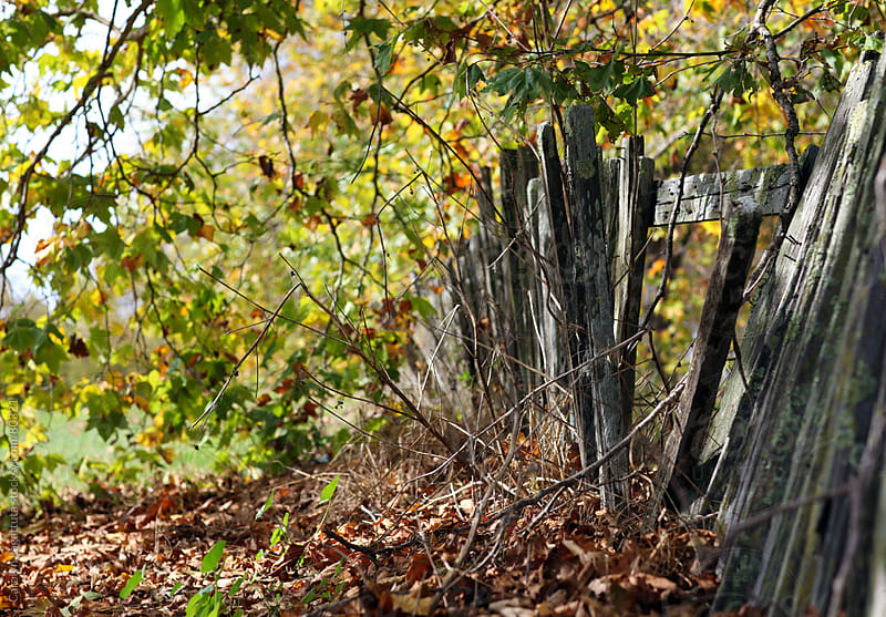 Dilapidated  wood fence with trees in the fall by Carolyn Lagattuta for Stocksy United