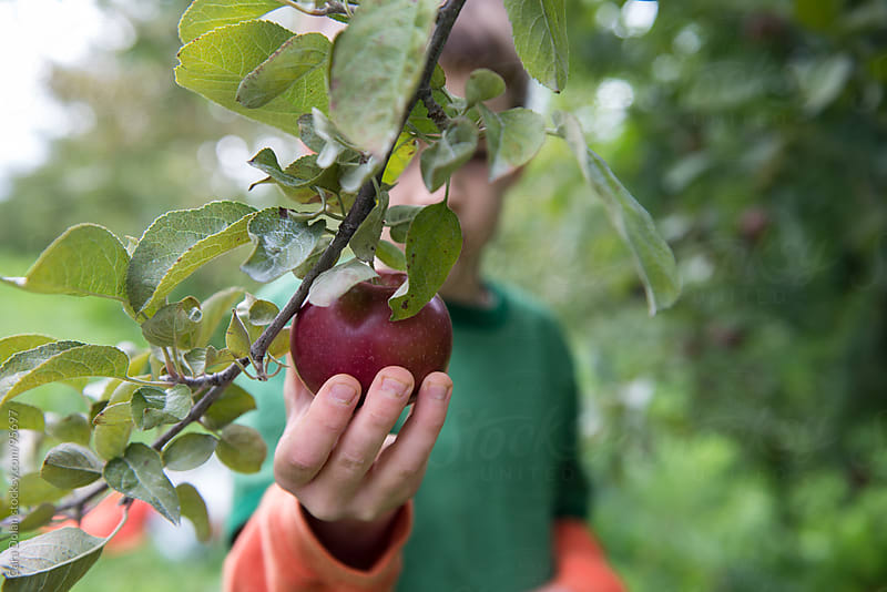 Child in an apple orchard picks a fresh red apple from a tree by Cara Dolan for Stocksy United