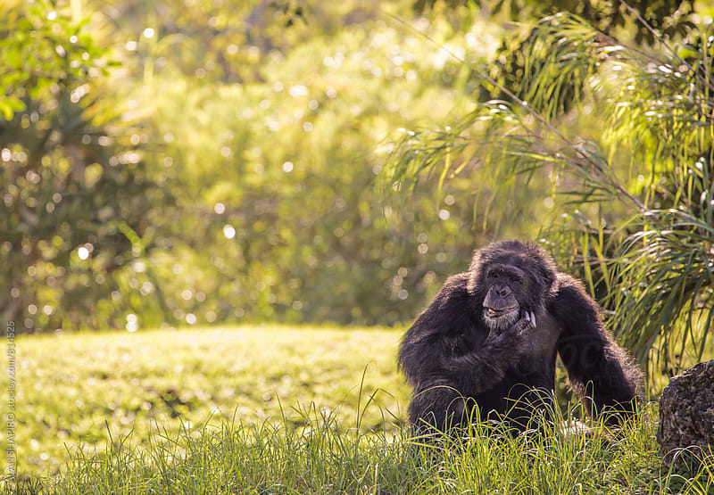 Chimpanzee pondering life by alan shapiro for Stocksy United