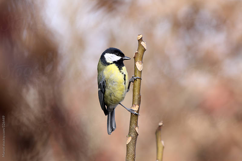 Great tit hanging on to a twig by Marcel for Stocksy United