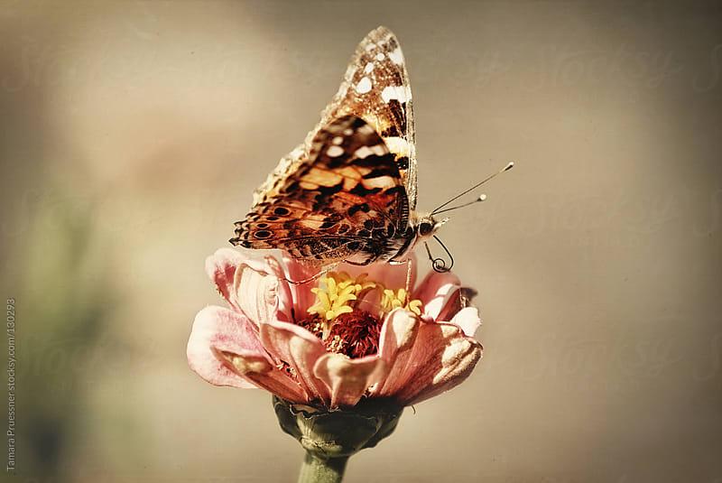 Butterfly On Pink Flower by Tamara Pruessner for Stocksy United
