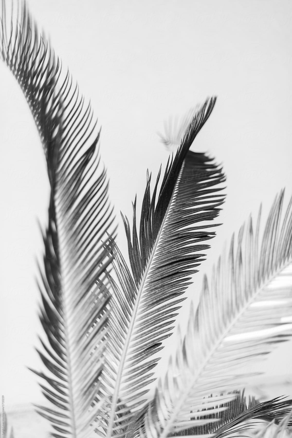 Black and white sago palm fronds