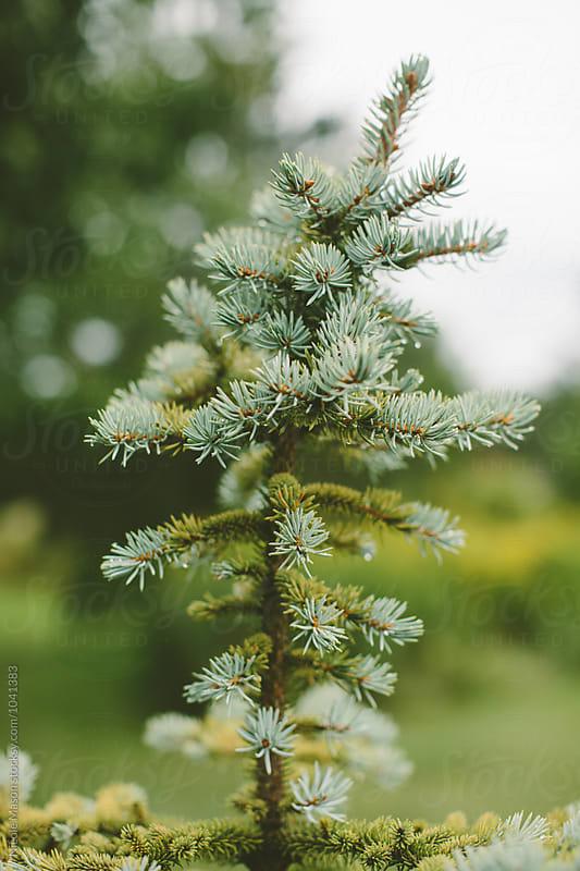 baby evergreen tree on rainy morning by Nicole Mason for Stocksy United