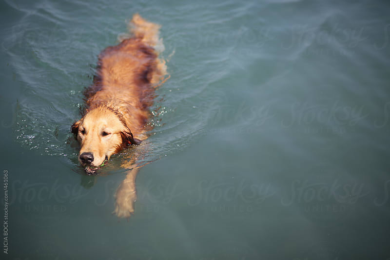 A Dog Swimming In A Lake On A Summer Afternoon by ALICIA BOCK for Stocksy United