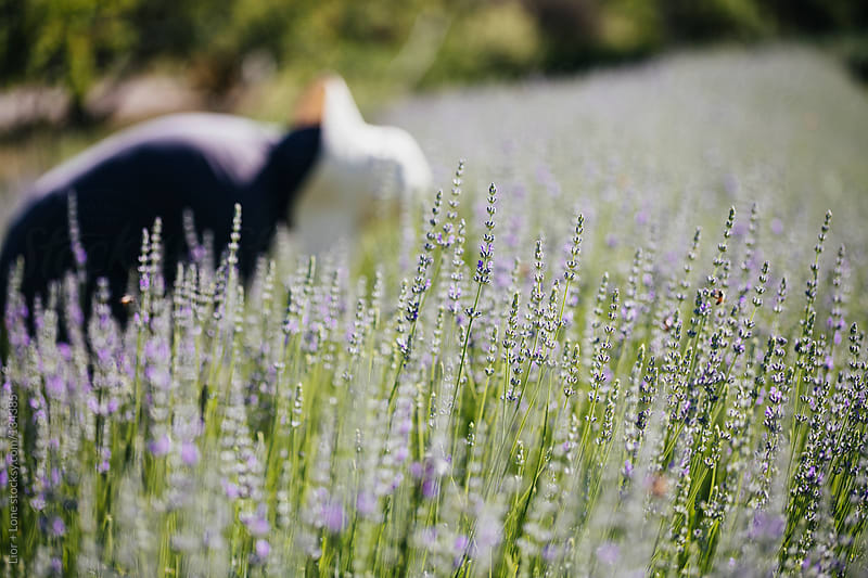 working in an organic lavender field by Lior + Lone for Stocksy United