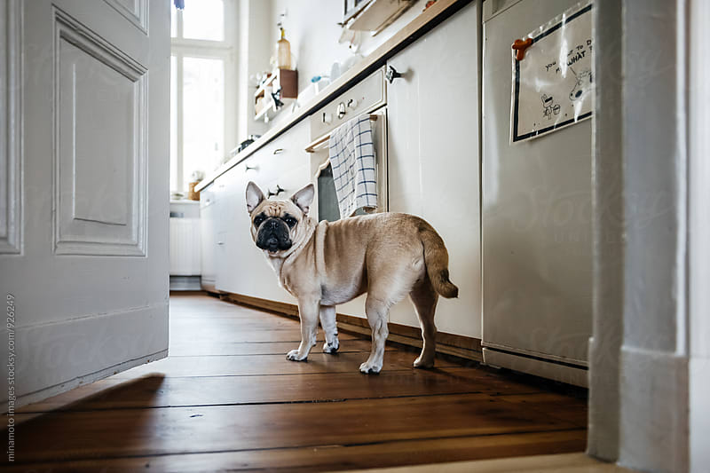 Small dog standing in a kitchen. by minamoto images for Stocksy United