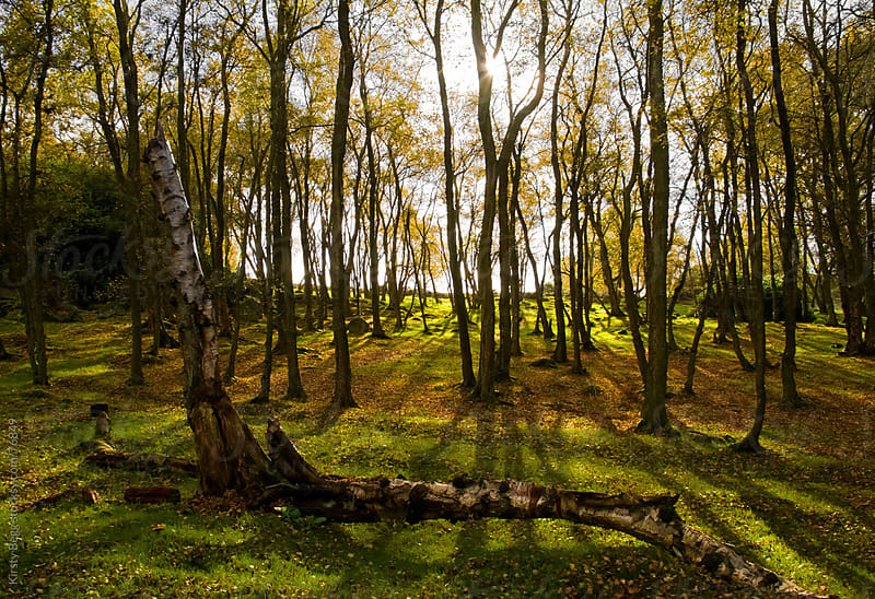 Sunlight through silver birch trees in woodland by Kirsty Begg for Stocksy United