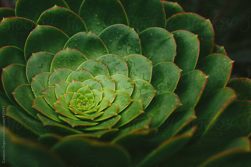 succulent close-up by Cameron Zegers for Stocksy United