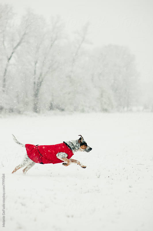 Dog in the snow by Melanie DeFazio for Stocksy United