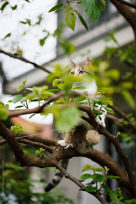Cat perching on tree branch close to a toy by Laura Stolfi for Stocksy United