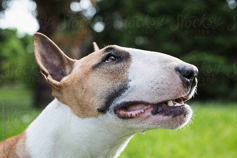 Bull Terrier Dog by Mauro Grigollo for Stocksy United