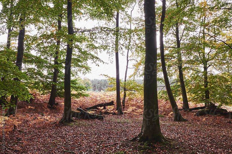Autumnal woodland of Beech trees. Norfolk, UK. by Liam Grant for Stocksy United
