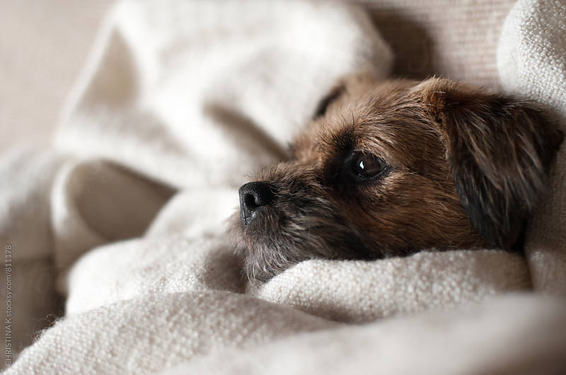 Terrier dog wrapped in a cosy blanket by CHRISTINA K for Stocksy United