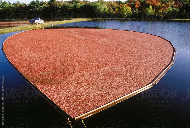 Cranberry Harvest by Raymond Forbes LLC for Stocksy United
