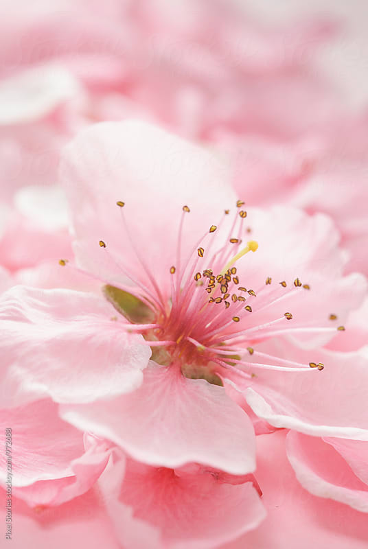 Pink Spring blossom macro by Pixel Stories for Stocksy United