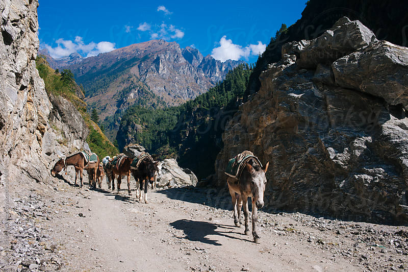 Mules returning down from the himalayas. by Shikhar Bhattarai for Stocksy United