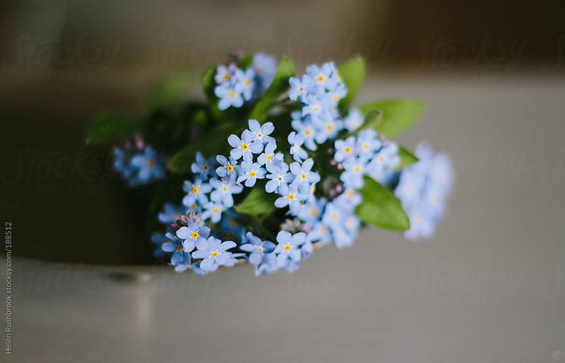 Forget-Me-Nots by Helen Rushbrook for Stocksy United