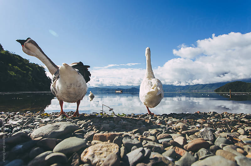 Goose in Lugu lake in Yunnan Province,China by zheng long for Stocksy United