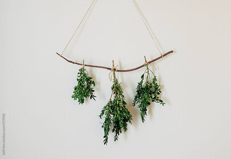 Minimal Wall Decoration of Boxwood Greens Hanging From Twig by kelli kim for Stocksy United