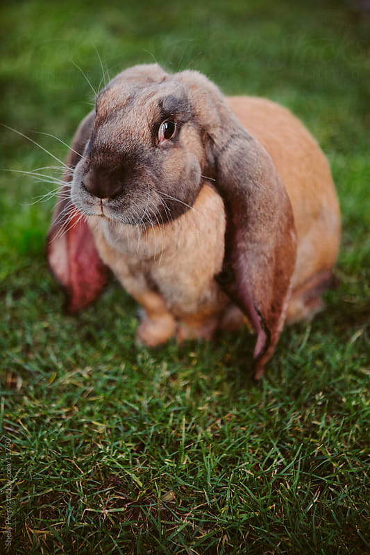 Long Eared Rabbit  by Shelly Perry for Stocksy United