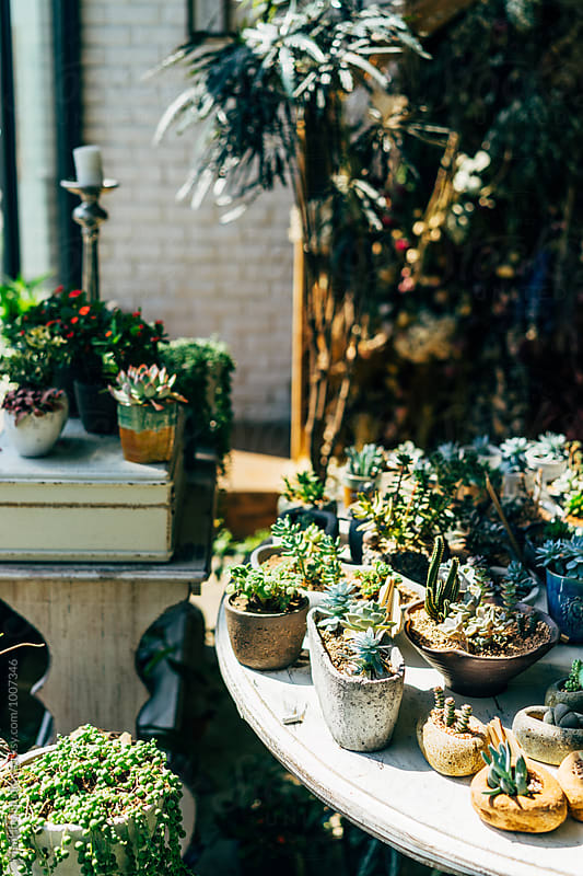 Succulent plants displayed in a flower shop by MaaHoo Studio for Stocksy United