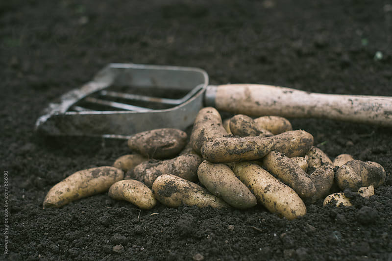 Freshly harvested Kipfler Potatoes by Rowena Naylor for Stocksy United