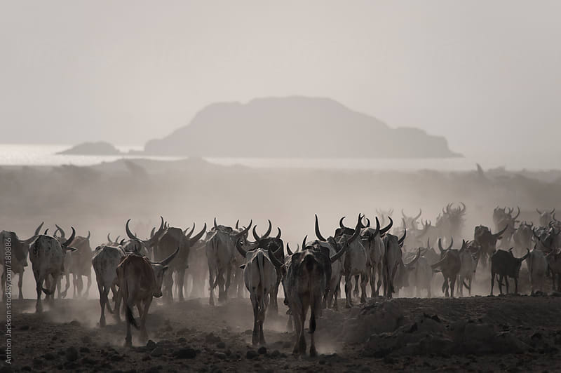 Cattle Drive, Danakil by Anthon Jackson for Stocksy United
