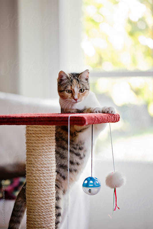 Cat stands on her back legs while playing on scratchin post by Laura Stolfi for Stocksy United