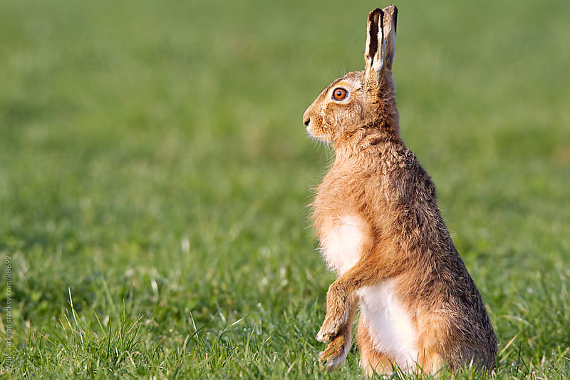 A brown hare in a green field by Will Clarkson for Stocksy United