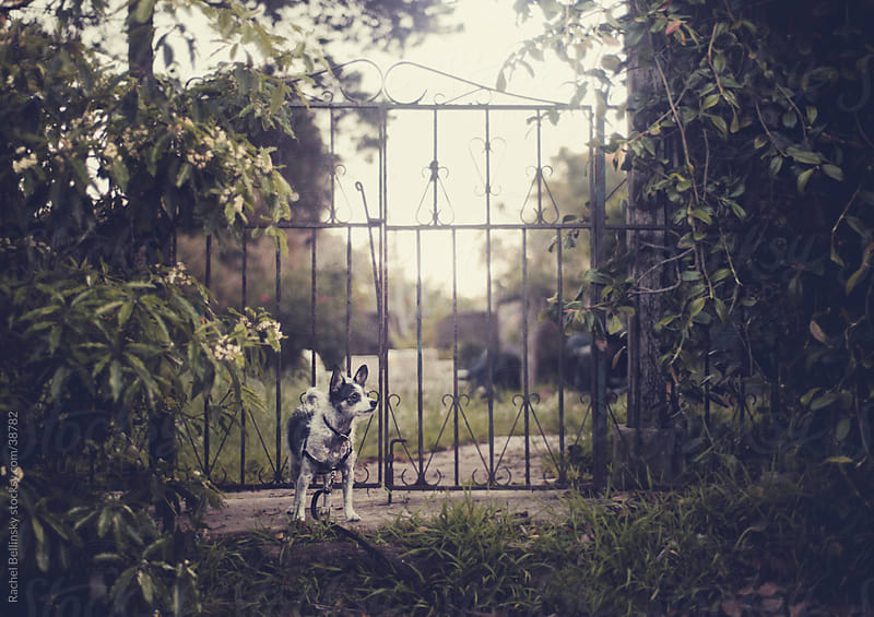 Small black and white terrier guards an old gate by Rachel Bellinsky for Stocksy United