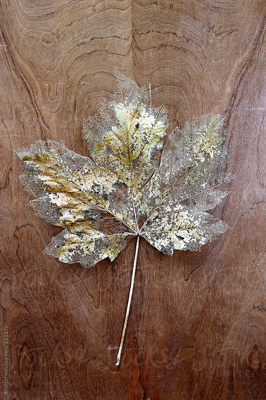 Disintegrating leaf on wood by Marcel for Stocksy United