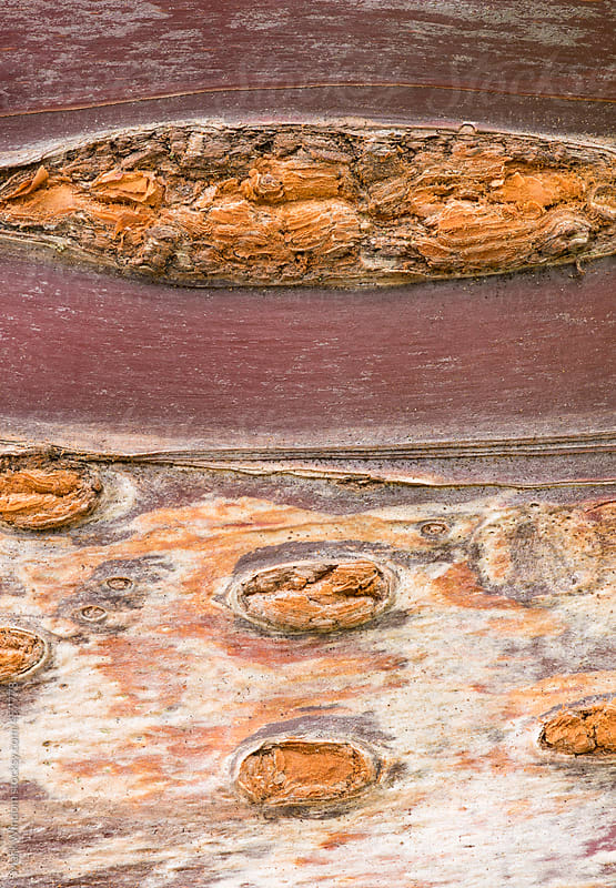 Macro photograph of the patterns in the bark of a cherry tree by Mark Windom for Stocksy United