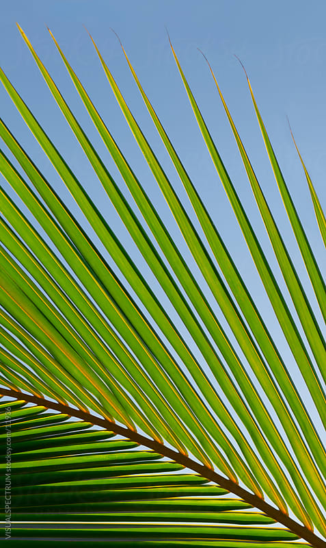 Palm Leaf by VISUALSPECTRUM for Stocksy United