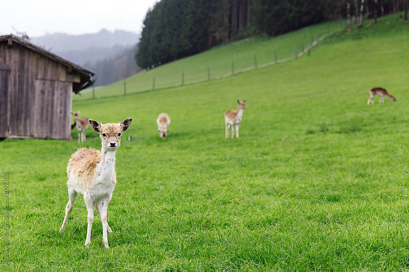 Curious little deer on green field by Andrey Pavlov for Stocksy United