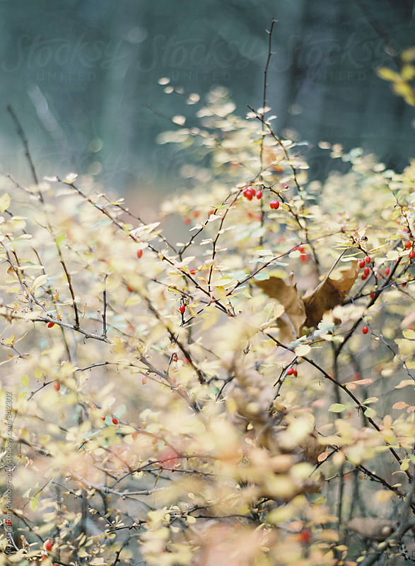 Winterberries and yellow leaves  by Vicki Grafton Photography for Stocksy United