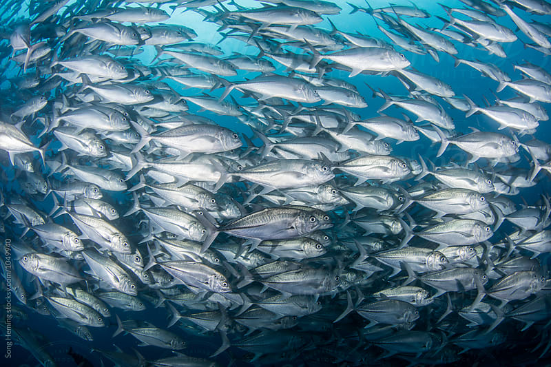 A school of Jack fishes on the move by Song Heming for Stocksy United