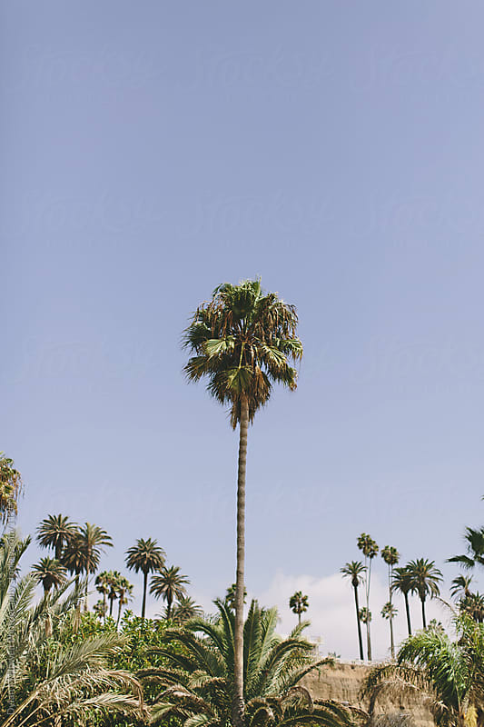 Palm Trees in Santa Monica by Dylan M Howell Photography for Stocksy United