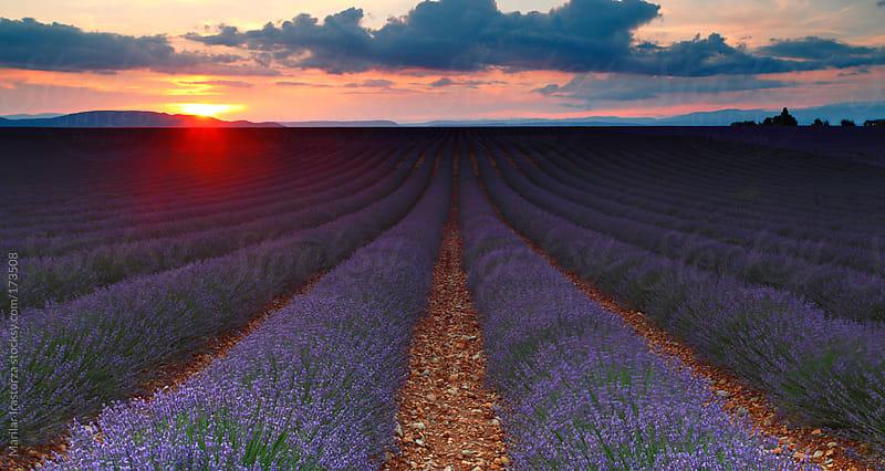 Field of lavender in Provence by Marilar Irastorza for Stocksy United