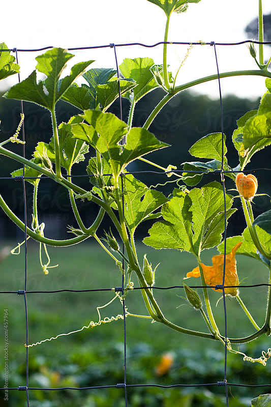 Zucchni Growing on Fence on Farm by Sara Remington for Stocksy United