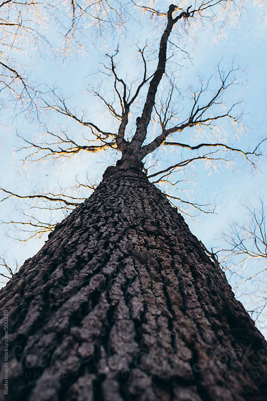 Low angle view of bare maple tree towering towards sky by Paul Edmondson for Stocksy United
