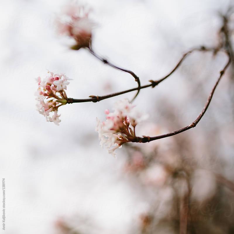 Delicate white blossom on a tree by Amir Kaljikovic for Stocksy United