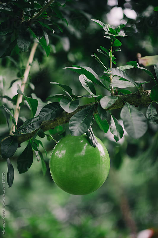 Green Round Fruit On A Branch by Alexander Grabchilev for Stocksy United