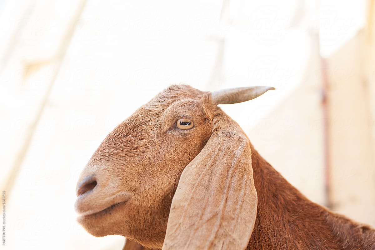Profile view of Indian Goat by Dream Lover - Stocksy United