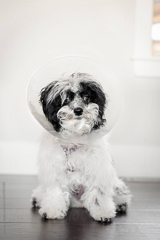 Dog With Elizabethan Collar After Gettting Spayed by Ronnie Comeau for Stocksy United