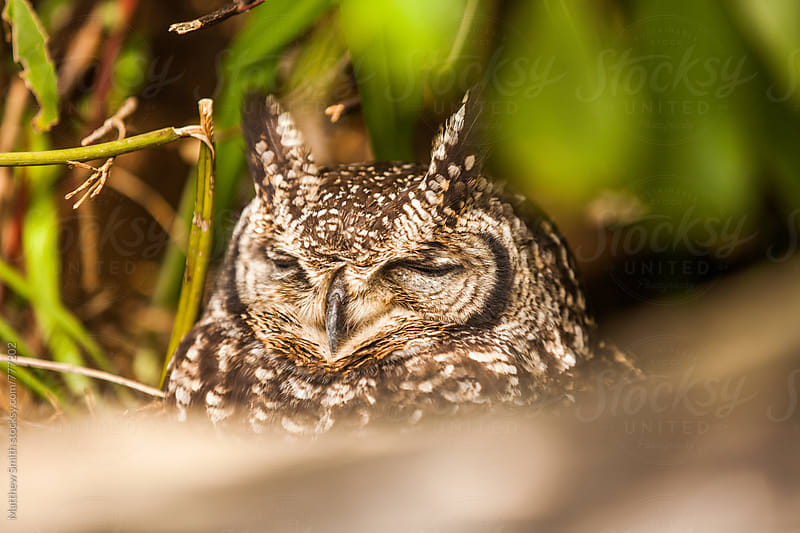 Sleeping Owl by Matthew Smith for Stocksy United