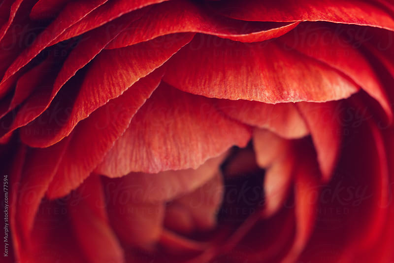 Macro of red ranunculus flower petals by Kerry Murphy for Stocksy United