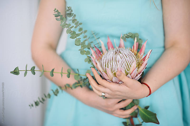 A king protea flower in a woman's hands by Adrian Cotiga for Stocksy United