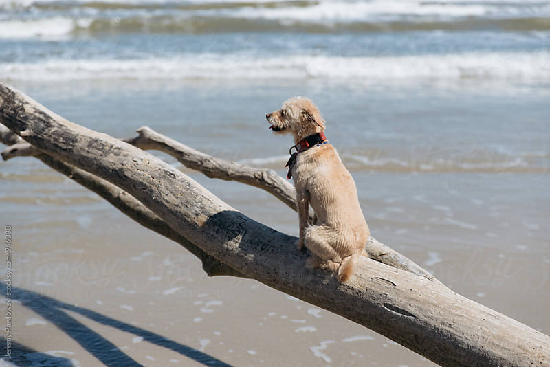 Small dog sitting on branch with ocean and waves in background by Jeremy Pawlowski for Stocksy United